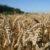 Główne odmiany zbóż cz. 10