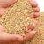 Główne odmiany zbóż cz. 12