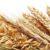 Główne odmiany zbóż cz. 5