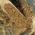 Główne odmiany zbóż cz. 16
