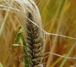 Choroby zbóż